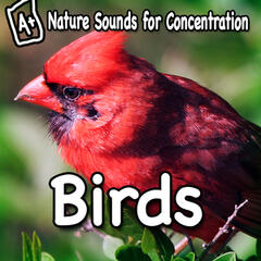 Nature Sounds for Concentration - Birds