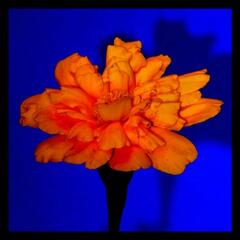 The Shadow of the Marigold